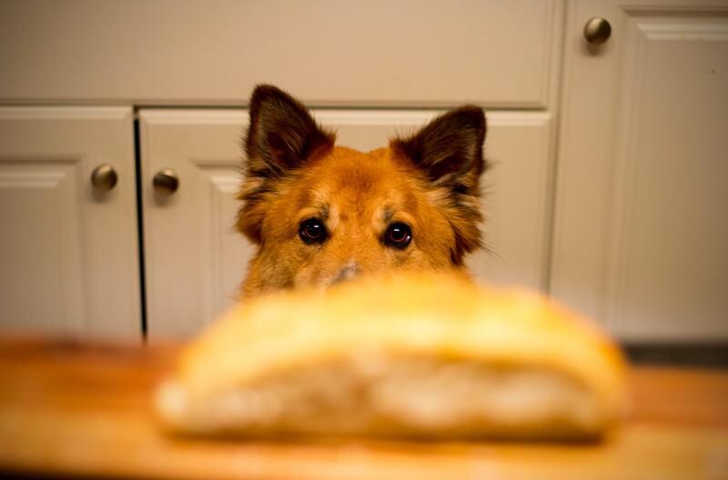 Hasznos vagy ártalmas a gabona a kutyának?
